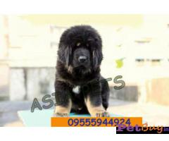 Tibetan mastiff puppy  for sale in Mumbai Best Price