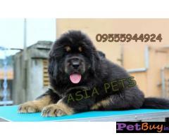 Tibetan mastiff puppy  for sale in Mysore Best Price