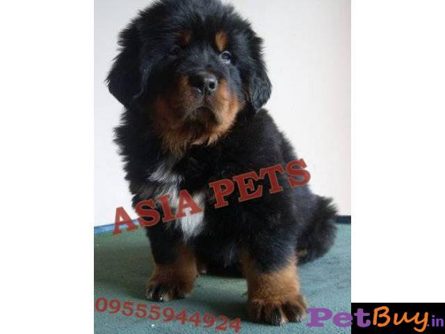 Tibetan mastiff puppy  for sale in Nagpur Best Price