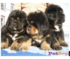 Tibetan mastiff puppy  for sale in Nashik Best Price