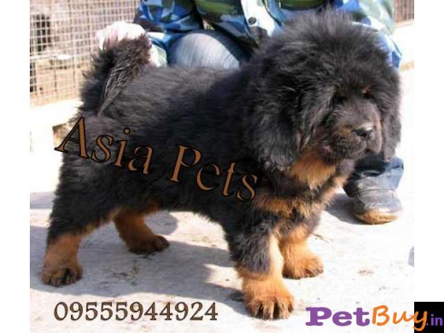 Tibetan mastiff puppy  for sale in rajkot best price