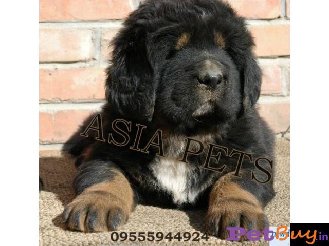 Tibetan mastiff puppy  for sale in vijayawada Best Price