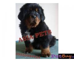 Tibetan mastiff puppy  for sale in navi mumbai Best Price