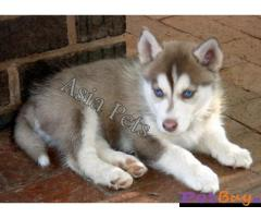 Siberian husky puppy  for sale in Agra Best Price
