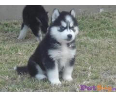 Siberian husky puppy  for sale in Bhopal Best Price