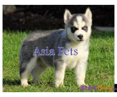 Siberian husky puppy  for sale in Bhubaneswar Best Price