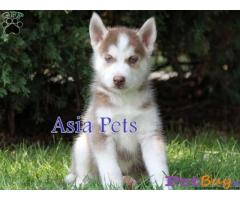 Siberian husky puppy  for sale in Hyderabad Best Price