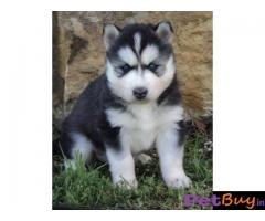 Siberian husky puppy  for sale in Jaipur Best Price