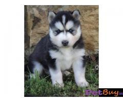 Siberian husky puppy  for sale in Jaipur Best Price