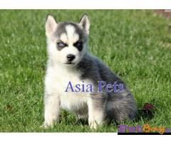 Siberian husky puppy  for sale in Jodhpur Best Price