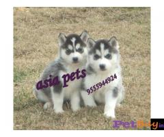 Siberian husky puppy  for sale in Lucknow Best Price
