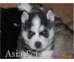 Siberian husky puppy  for sale in Mysore Best Price