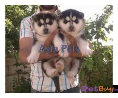 Siberian husky puppy  for sale in Nashik Best Price