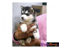 Siberian husky puppy  for sale in rajkot best price