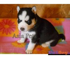 Siberian husky puppy  for sale in thiruvanthapuram Best Price
