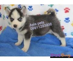 Siberian husky puppy  for sale in vijayawada Best Price