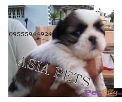 Shih tzu puppy  for sale in Agra Best Price
