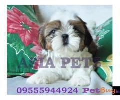 Shih tzu puppy  for sale in Bhopal Best Price