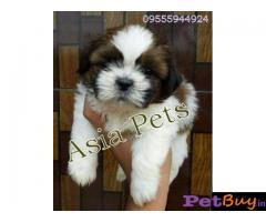 Shih tzu puppy  for sale in Chandigarh Best Price