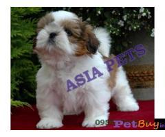 Shih tzu puppy  for sale in Coimbatore Best Price