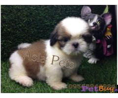Shih tzu puppy  for sale in Gurgaon Best Price