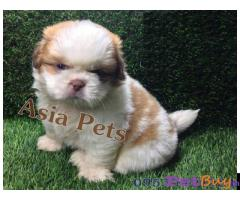 Shih tzu puppy  for sale in Hyderabad Best Price