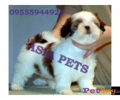 Shih tzu puppy  for sale in Jaipur Best Price