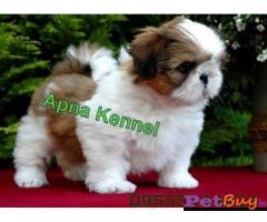 Shih tzu puppy  for sale in Lucknow Best Price