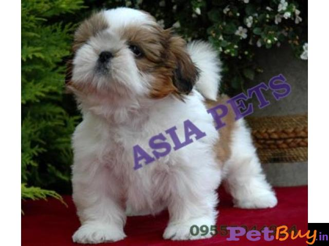 Shih Tzu Puppy For Sale In Madurai Best Price