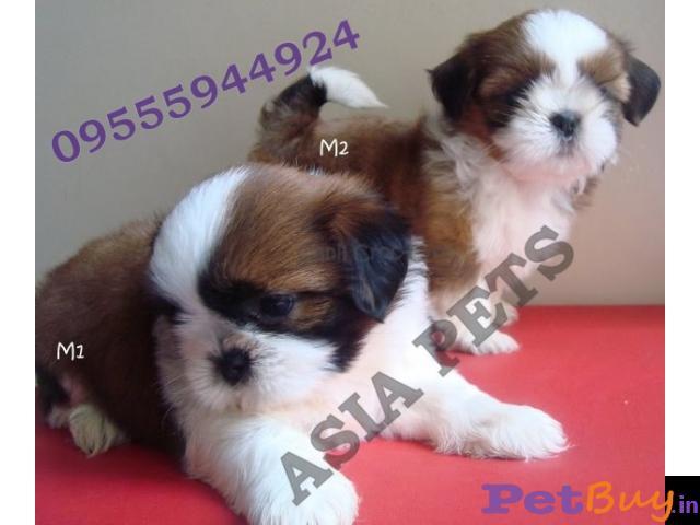 Shih tzu puppy  for sale in Mumbai Best Price