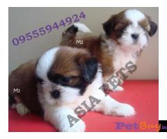 Shih tzu puppy  for sale in Mumbai Best Price