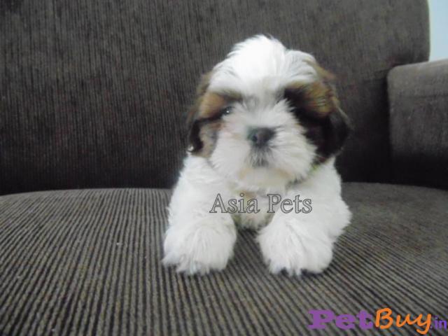 Shih tzu puppy  for sale in Mysore Best Price