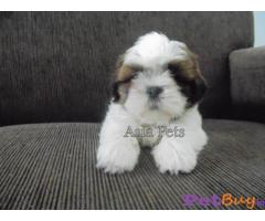 Shih tzu puppy  for sale in Mysore Best Price
