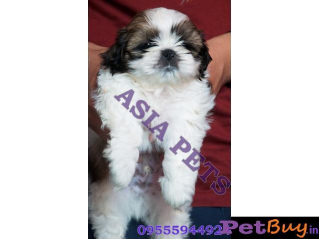 Shih tzu puppy  for sale in Nagpur Best Price