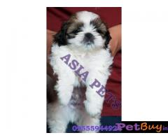 Shih tzu puppy  for sale in Nagpur Best Price