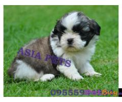 Shih tzu puppy  for sale in thiruvanthapuram Best Price