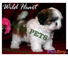 Shih tzu puppy  for sale in vijayawada Best Price