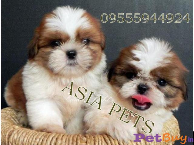 Shih tzu puppy  for sale in  vadodara Best Price - 1/1