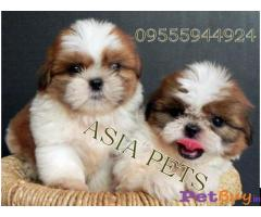 Shih tzu puppy  for sale in  vadodara Best Price