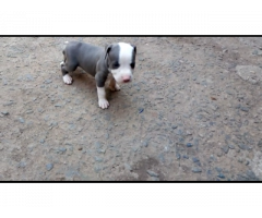 Top quality pitpull pups available,contact at 8210301754