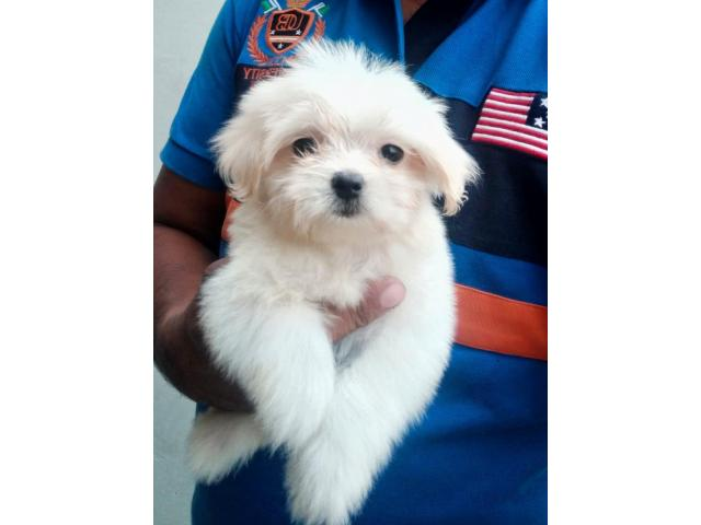 Ethically Bred Maltese puppy for sale in Mumbai