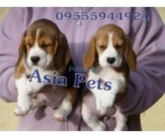 Beagle Price in India,Beagle puppy for sale in Delhi, INDIA