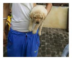 Labrador pups for sale in Low Price in Ahemdabad Call 8708195233