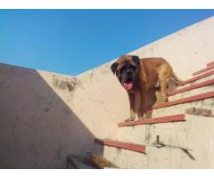 English mastiff pups for sale in Low Price in Ahemdabad Call 8708195233