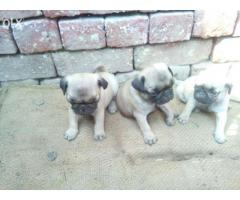 Pug pups for sale in Low Price in Ahemdabad Call 8708195233