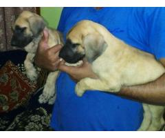 Greatdane pups for sale in Low Price in Ahemdabad Call 8708195233