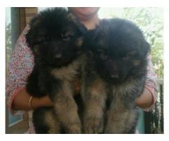 German shepherd pups for sale in Low Price in Ahemdabad Call 8708195233