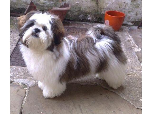 Shihtzu pups for sale in Low Price in Ahemdabad Call 8708195233