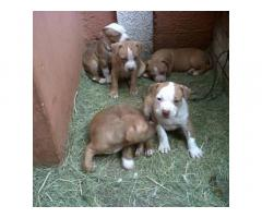 American Pitbull pups for sale in Low Price in Ahemdabad Call 8708195233