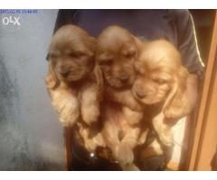 Cocker Spaniel pups for sale in Low Price in Ahemdabad Call 8708195233